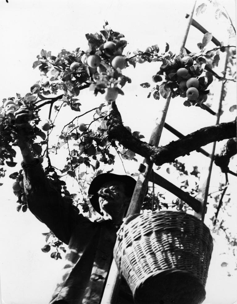 Dokumentarphotographie: Apfelernte
