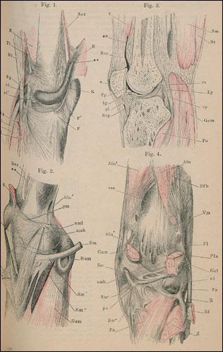 Anatomischer Hand-Atlas zum Gebrauch im Secirsaal Bänder [Band 2 ...